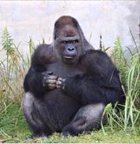shabani the gorilla on facebook