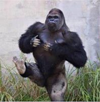 shabani the gorilla