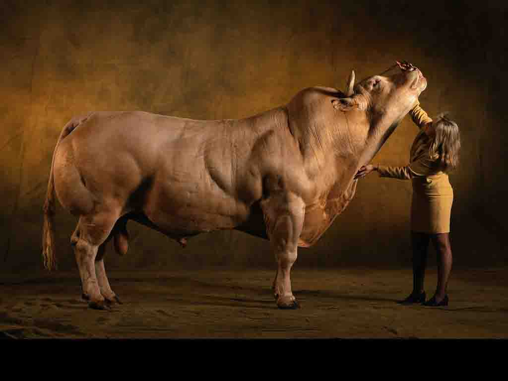 muscle-cows-002