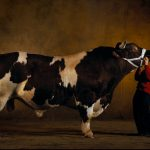 muscle-cows-009