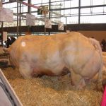 muscle-cows-013