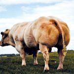 muscle-cows-018