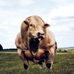 muscle-cows-019