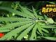Marijuana Study