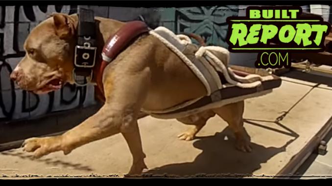 Powerlifting Dog
