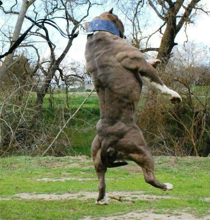 myostatin-dogs-001