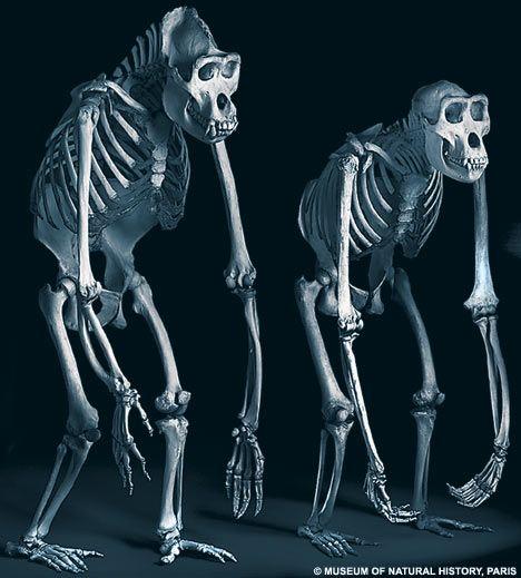gorilla-anatomy_003