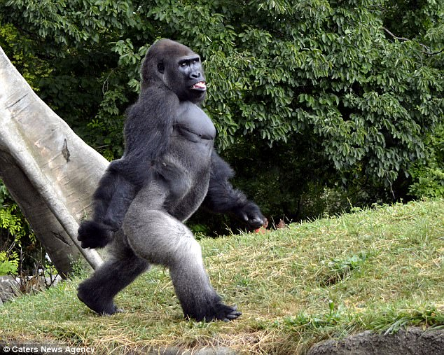gorilla-anatomy_004