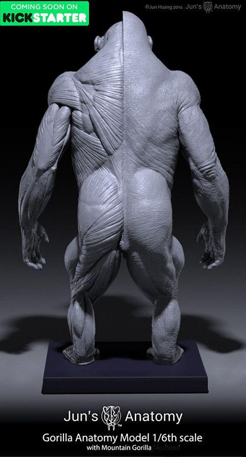 gorilla-anatomy_011