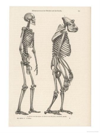 gorilla-anatomy_013