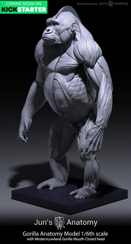 gorilla-anatomy_016