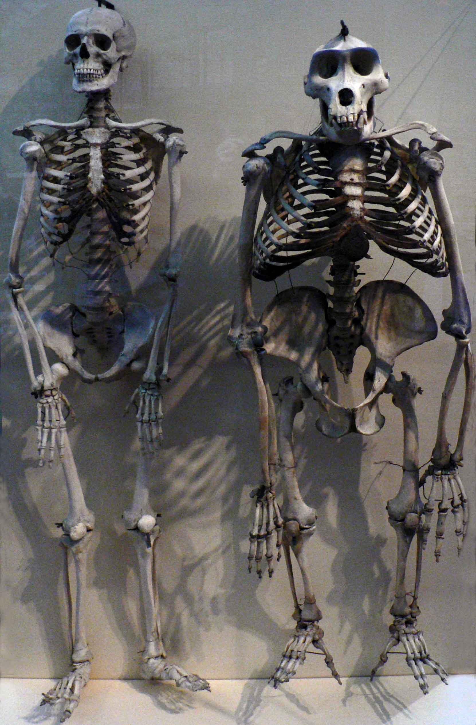 gorilla-anatomy_017