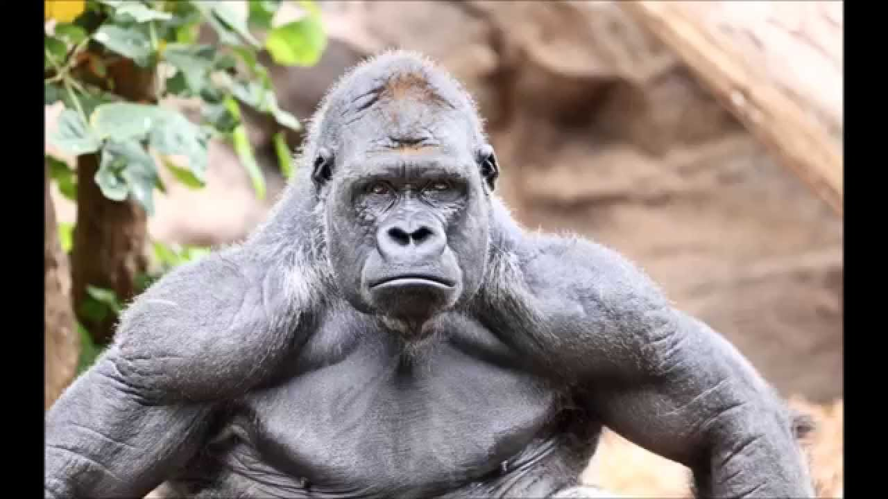 gorilla-anatomy_024