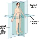 The-Anatomical-Planes-of-the-Human-Body