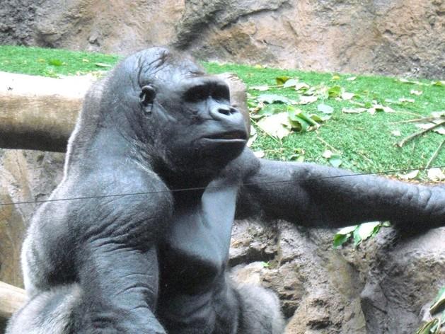 gorilla-terminators002