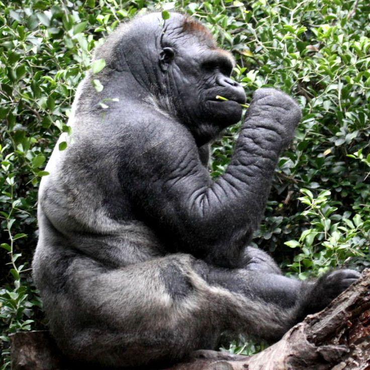 gorilla-terminators003